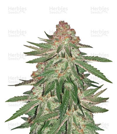 Buy Big Bud XXL feminized seeds