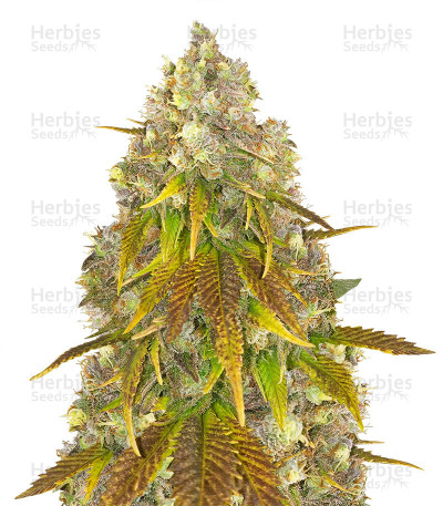 Buy 818 Headband by Cali Connection Seeds
