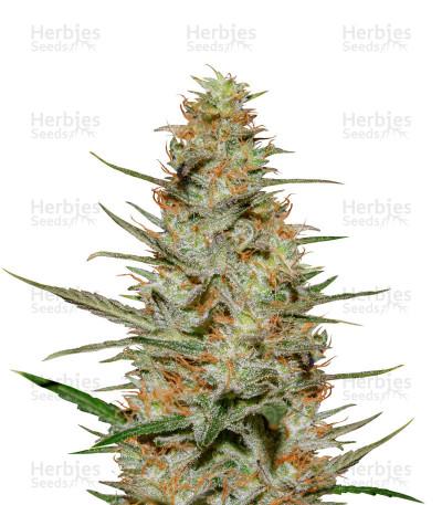 Graines de cannabis Purple Paralysis (Cream of the Crop Seeds)