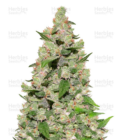 Buy ASH (Afg Skunk x Afg Haze) Regular seeds