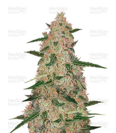 Buy Exodus Cheese x Jack Herer x NL5 feminized seeds