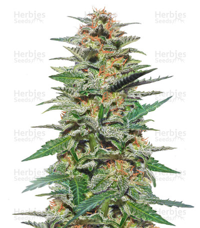 Sweetberry Cough Auto (Garden of Green Seeds)
