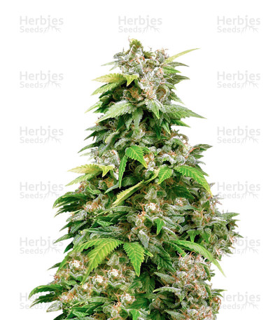 Buy California Indica Regular seeds