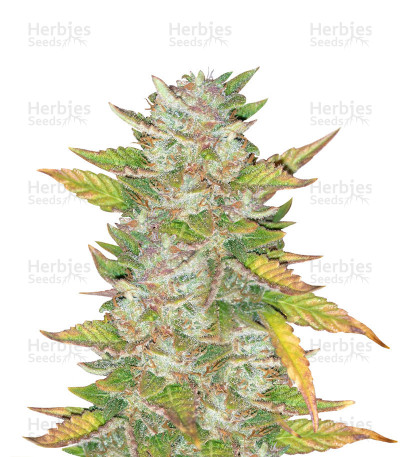 Graines de cannabis Purple Skunk Mass (Critical Mass Collective Seeds)