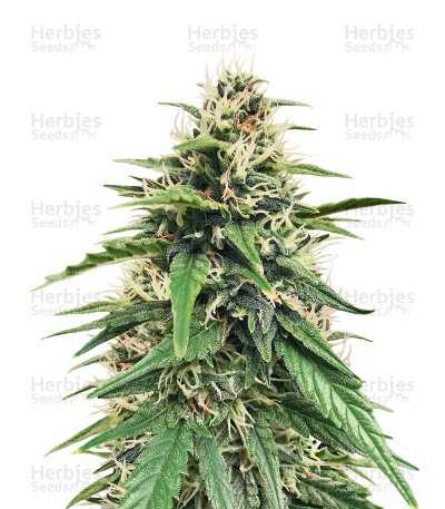 Buy Auto Blues feminized seeds