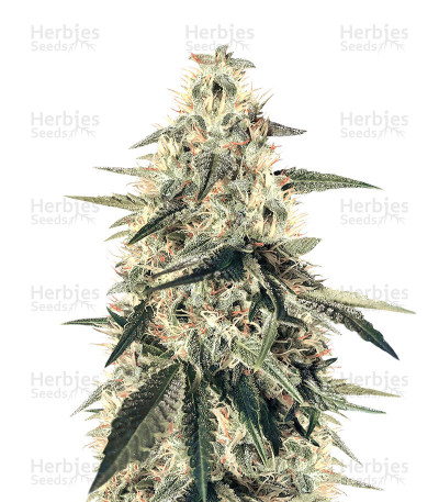 Buy Nepal Jam Regular seeds