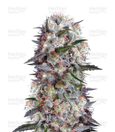 Buy Kali China feminized seeds