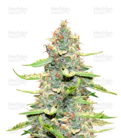 Buy Northern Light X Big Bud feminized seeds