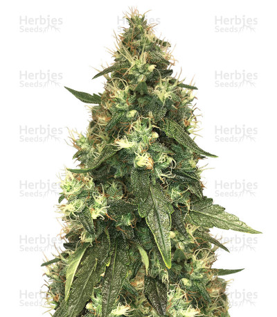 Buy Northern Lights feminized seeds (Seed Stockers)