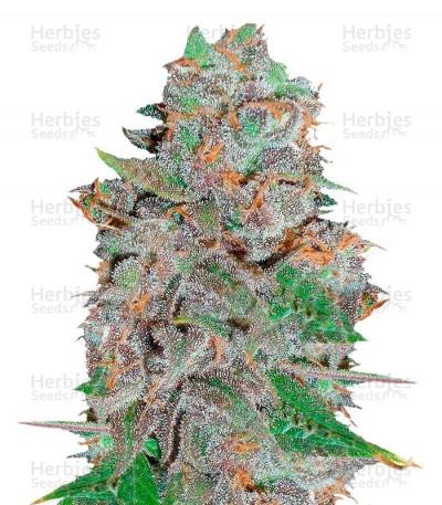 Graines de cannabis La Diva Auto (Delicious Seeds)