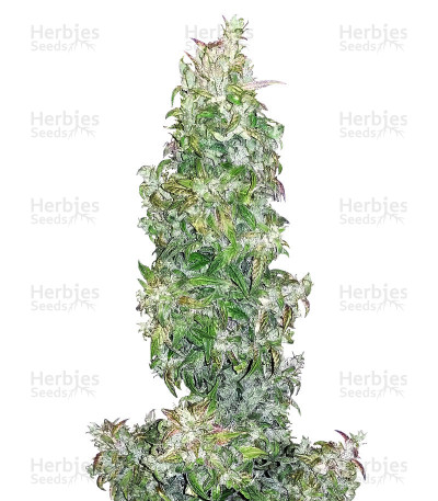 Buy Walter White Auto feminized seeds