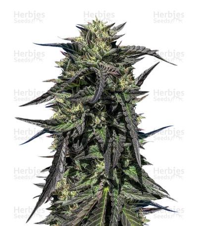 Buy Josh D OG Regular seeds