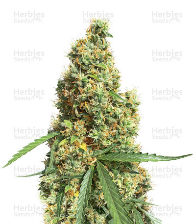 Buy AK420 Autoflower feminized seeds