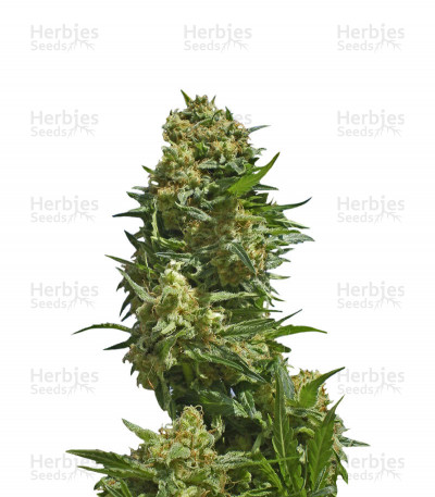 Buy Black Widow feminized seeds