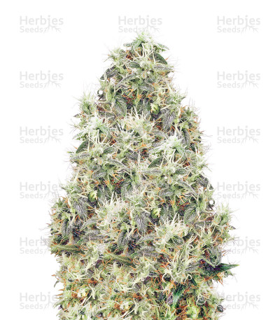 Buy White Gold Regular seeds