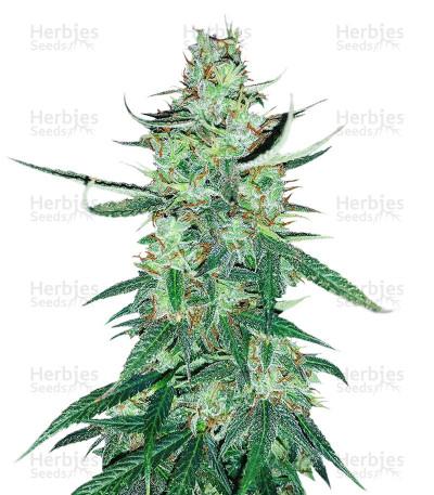 White Widow Autoflower (Seed Stockers)