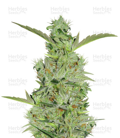 Buy Mango Haze Regular seeds