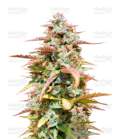 Buy White Haze Automatic feminized seeds
