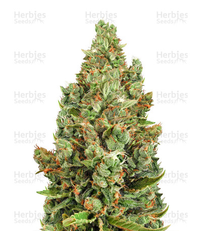 Buy Supercheese Express Auto feminized seeds