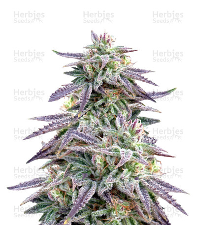 Buy Blue OX Regular seeds