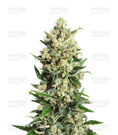 Buy Ice Kush feminized seeds