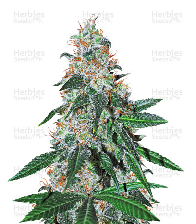 Buy Sticky Dream feminized seeds