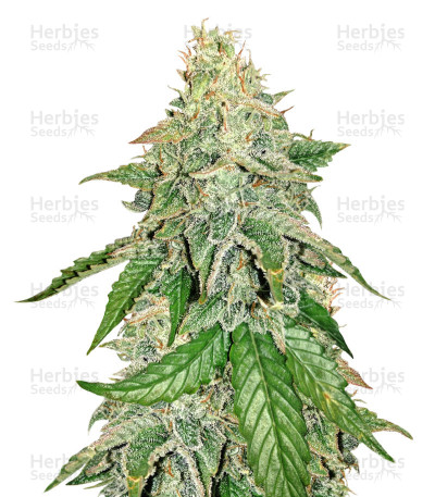 Buy Sour Hound F2 Auto feminized seeds