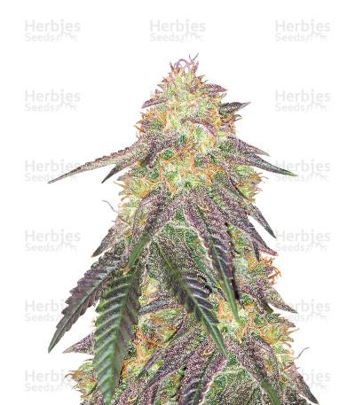 Buy Morpheus CBD feminized seeds