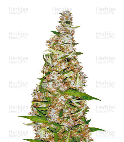 Buy Skunk #1 Automatic feminized seeds