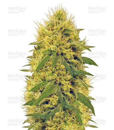 Buy Big Bud feminized seeds