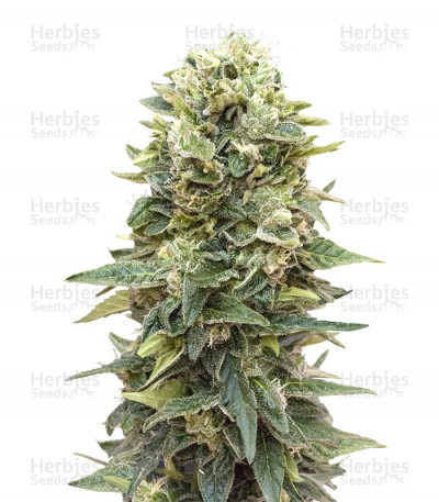Buy Auto Afghan Mass feminized seeds
