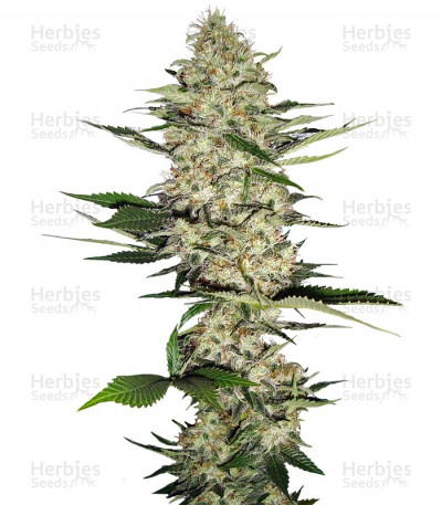 Buy Mr Nice G13 X Hash Plant regular seeds