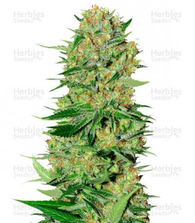 Buy Veneno feminized seeds