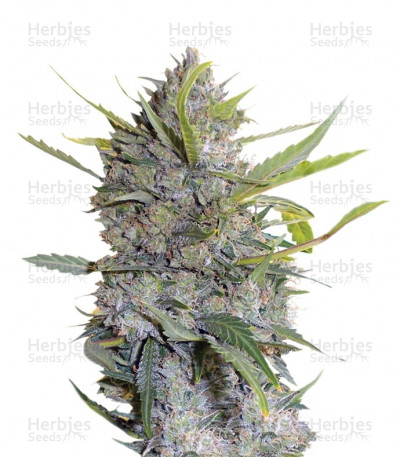 Buy Serious Happiness feminized seeds