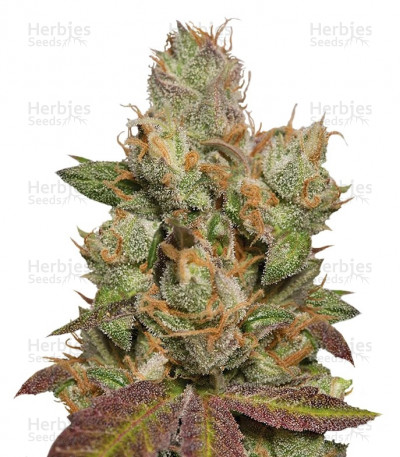 Buy 707 Truthband by Emerald Mountain feminized seeds