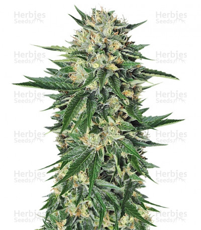 Buy Dr. Greenthumb's Em-Dog by B-Real feminized seeds