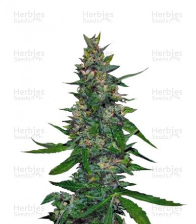 Buy Timanfaya Auto feminized seeds