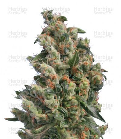 Buy Kushage regular seeds