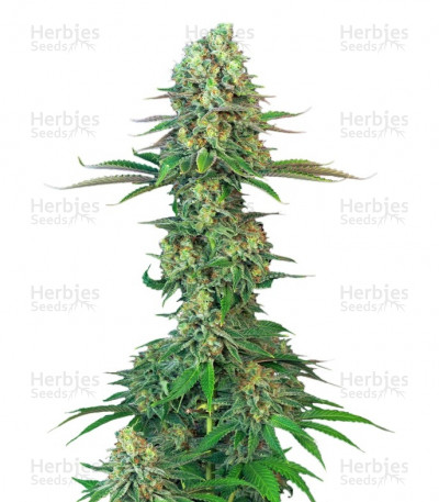 Buy Bubblegum feminized seeds