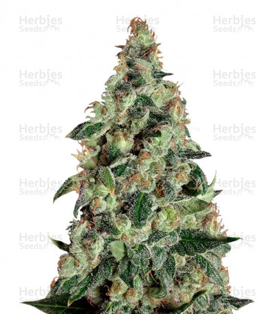 Buy Super Skunk Auto feminized seeds