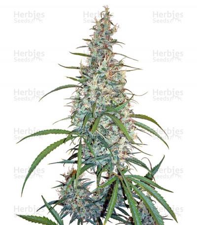 Buy Silver Haze feminized seeds