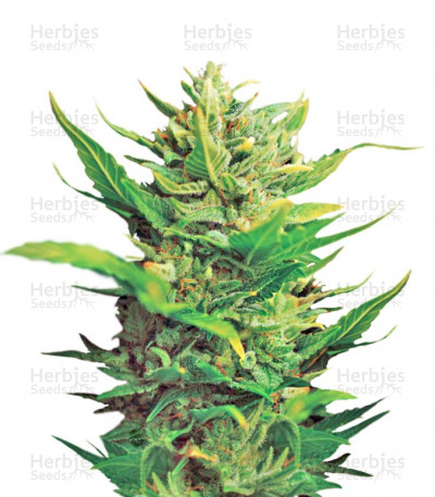 Buy Think Different Auto feminized cannabis