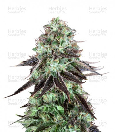 Buy DarkStar regular seeds
