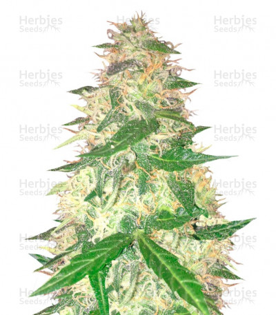 Buy Red Leicester Tease feminized seeds