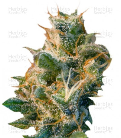 Buy Smile Max Auto feminized seeds