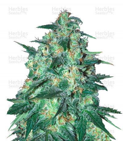 Buy Jekyll Passion feminized seeds
