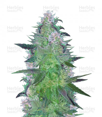 Buy Crystal Queen feminized seeds