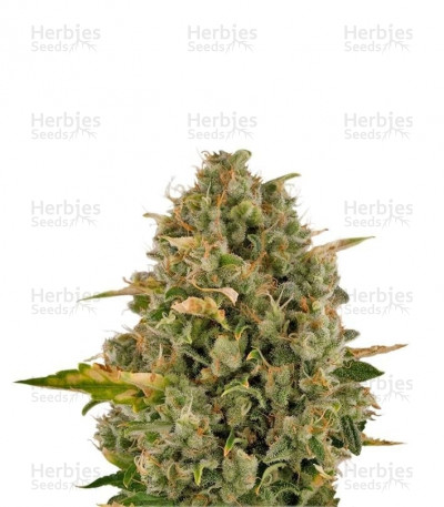 Buy Royal Moby feminized seeds