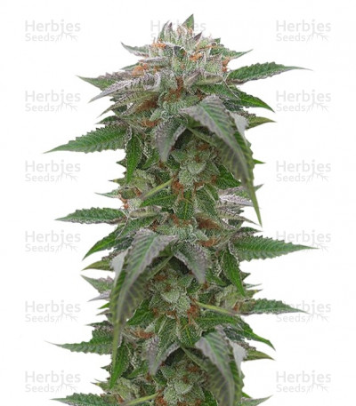 Buy Bubba Kush 2.0 feminized seeds