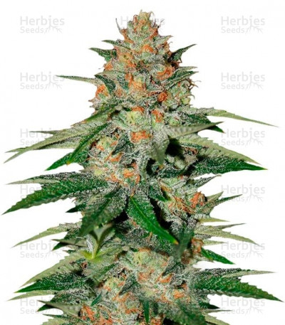 Buy Delicious Candy feminized seeds